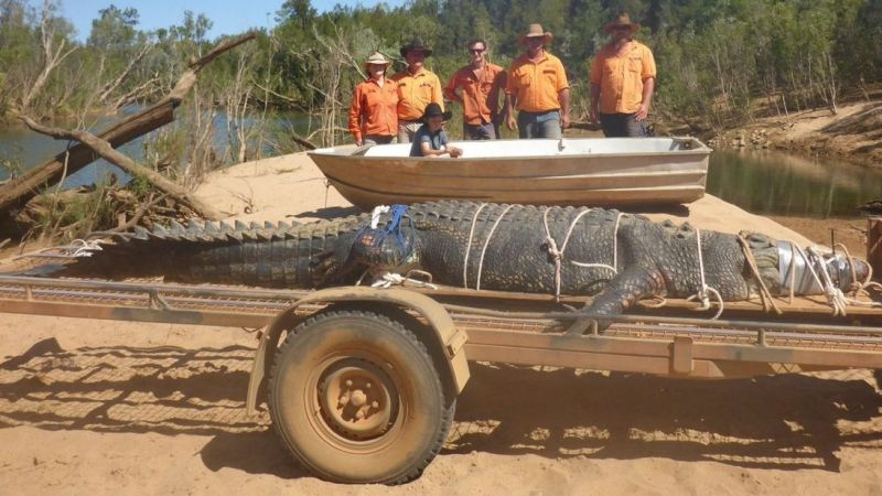 Buaya seberat 500 kilogram yang berhasil ditangkap (Foto: Sky News).