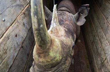 Semua badak hitam yang tersisa di dunia hidup di benua Afrika.