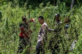 Polisi Temukan 4 Hektare Ladang Ganja di Lhokseumawe