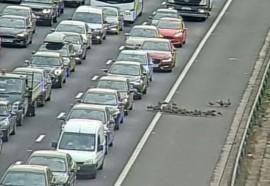 30 Ekor Bebek Picu Kemacetan Jalan Raya di Inggris