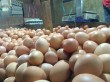 'Mengeram' Untung dari Kenaikan Harga Telur