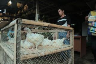 Stok Ayam untuk Pedangang Dijatah