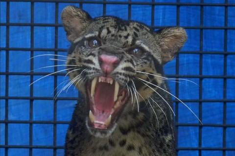 Macan Dahan Dievakuasi dari Kolong Rumah Warga