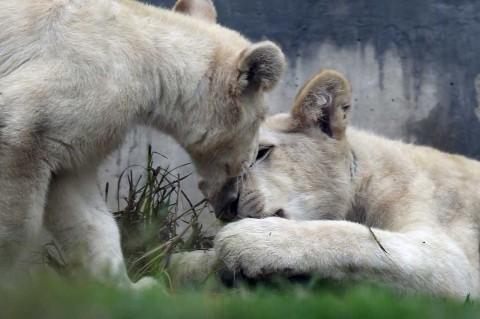 Kebun Binatang Peru Perkenalkan Anak Singa Putih