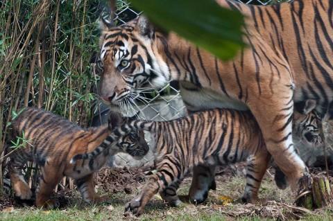 Bali Zoo Berhasil Kembangbiakkan Harimau Sumatra