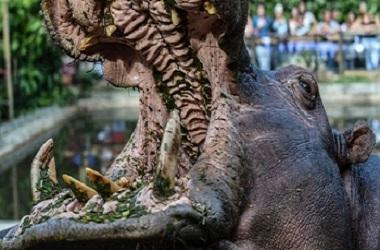 Seekor kuda nil di kebun binatang Kolombia. (Foto: AFP)