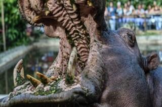 Berdiri Terlalu Dekat, Turis Tiongkok Tewas Digigit Kuda Nil