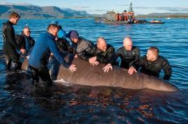 Dua Paus Hidung Botol Terdampar di Pantai Islandia