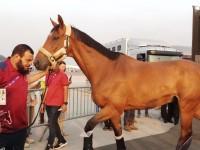 Kloter Terakhir, 33 Kuda Asian Games Tiba di Bandara Soetta