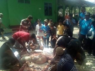 Butuh 30 Jagal Sembelih Sapi Kurban Presiden Jokowi