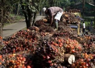 Harga Sawit di Riau Turun