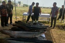 45 Ikan Predator Dimusnahkan