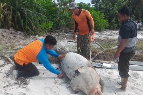 Dugong Ditemukan Mati di Pulau Rupat Utara