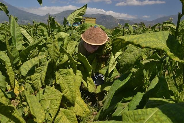 Petani memanen daun tembakau di persawahan desa Mento, Candiroto, di Temanggung, Jawa Tengah, Rabu (16/8). ANTARA FOTO/Anis Efizudin.
