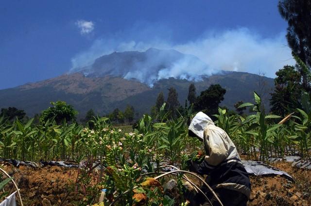 Warga memanen tembakau di perladangan berlatar belakang kebakaran hutan gunung Sumbing Desa Pagergunung, Bulu, Temanggung, Jawa Tengah, Selasa (11/9). ANTARA FOTO/Anis Efizudin.