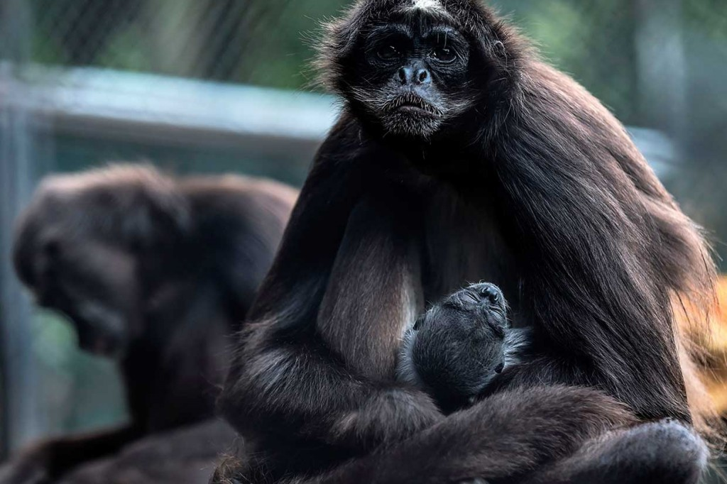 Kebun Binatang Kolombia Sambut Kelahiran Monyet Laba-laba