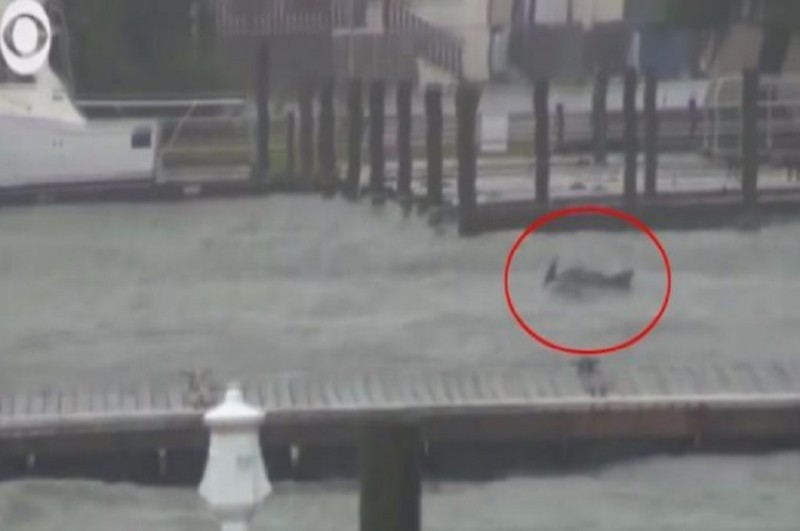 Sepasang lumba-lumba berjuang melawan arus banjir di dekat Wilmington, North Carolina, AS, Jumat 14 September 2018. (Foto: WWAY TV)
