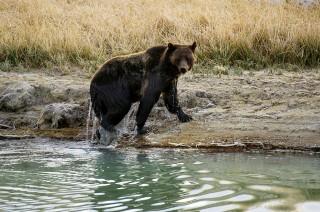 Pemandu Wisata Berburu Tewas Diserang Beruang di Wyoming