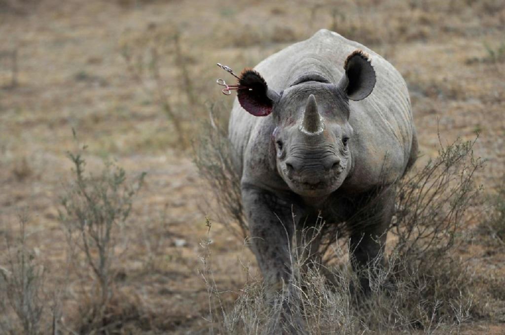 Seekor badak di area konservasi benua Afrika. (Foto: AFP/Tony Karumba)