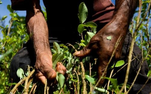 Tanaman koka yang dipanen di Kolombia. (Foto: AFP).