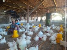 Bibit Ayam di Sumenep Mahal, Tapi Ayam Murah Dijual