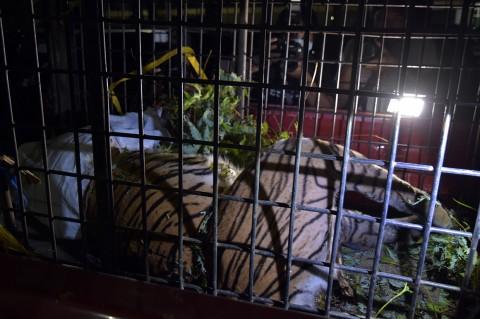 Harimau Sumatera Ditemukan Mati Terjerat