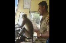Biarkan Monyet Mengemudi Bus Umum, Sopir Diberhentikan