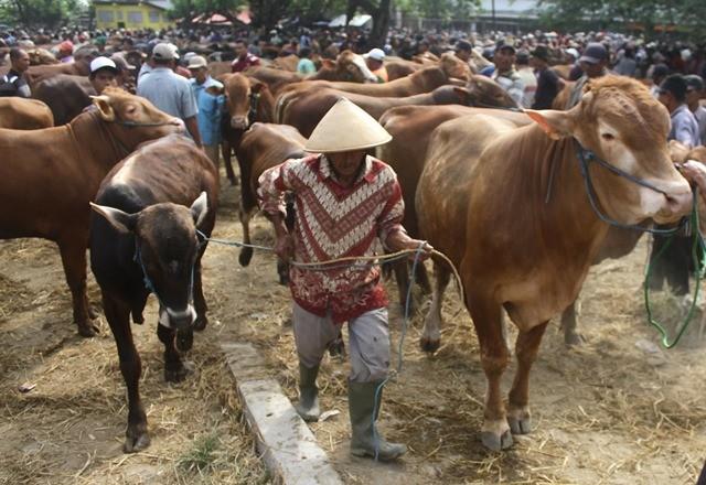 Peternak menggiring sapi dagangannya di Pasar Hewan, Ngawi, Jawa Timur, Rabu (9/8). ANTARA FOTO/Ari Bowo Sucipto.