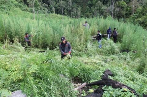 Ilustrasi lahan ganja, Foto: Antara/Ampelsa.