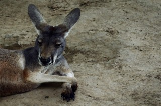 Tiga Warga Australia Terluka Parah Diserang Kanguru