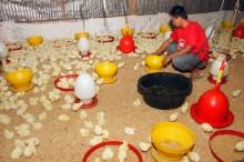 Pemerintah Bantu Peternak Ayam via Perkuat Stok Jagung