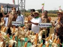 HKTI Panen Jagung Hibrida di Kediri
