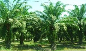 Menteri LHK Bidik Masalah Perizinan Kebun Sawit Selesai 3 Tahun