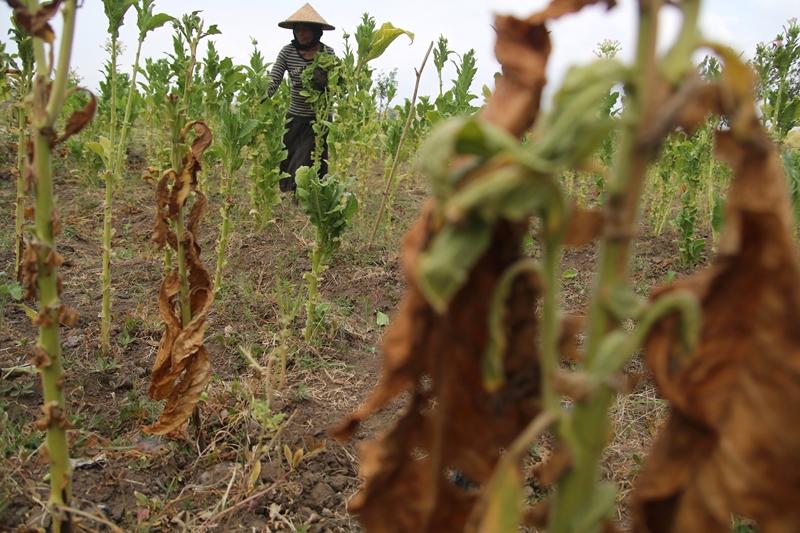 Petani memetik daun tembakau di area pertanian Desa Sukoanyar, Kediri, Jawa Timur, Kamis (25/10/2018). Medcom.id/Prasetia Fauzani