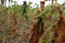 Tembakau Bojonegoro 100% Terserap Pabrik