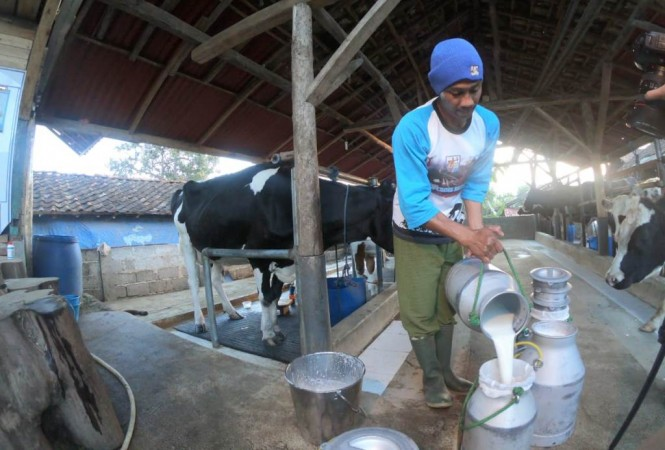 Aplikasi Milk Collection Point Mobile (MCPB) memudahkan para peternak mengetahui jumlah dan pendapatan yang mereka peroleh (Foto:Dok.Kemenkop UKM)