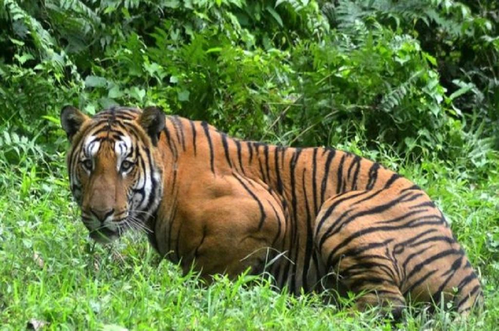 India adalah rumah dari 60 persen total populasi harimau di dunia. (Foto: AFP)