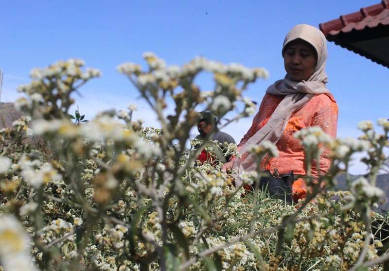 Petugas menyemaikan tanaman bunga edelweis (Anaphalis javanica) untuk dikembangbiakkan di kebun persemaian Taman Nasional Bromo Tengger Semeru (TNBTS), Sukapura, Probolinggo, Jawa Timur, Sabtu (1/8). ANTARA FOTO/Ari Bowo Sucipto.