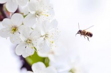 Apa yang Harus Dilakukan jika Bayi Anda Disengat Lebah?
