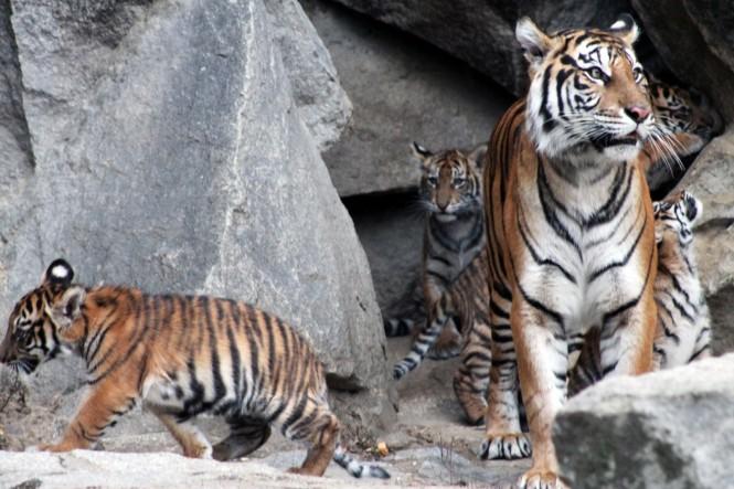 Harimau Sumatera yang ada di Kebun Binatang Tierpark Berlin. (Foto: Dok. KBRI Berlin)