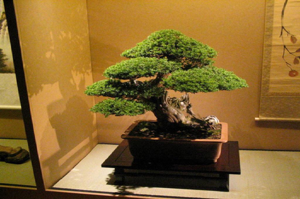Ilustrasi tanaman bonsai, wikipedia