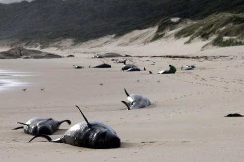 Puluhan Paus Terdampar di Pantai Australia
