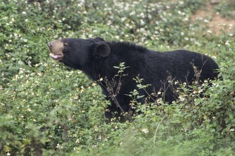 Beruang Peliharaan Bunuh Pawang Hewan di Jepang