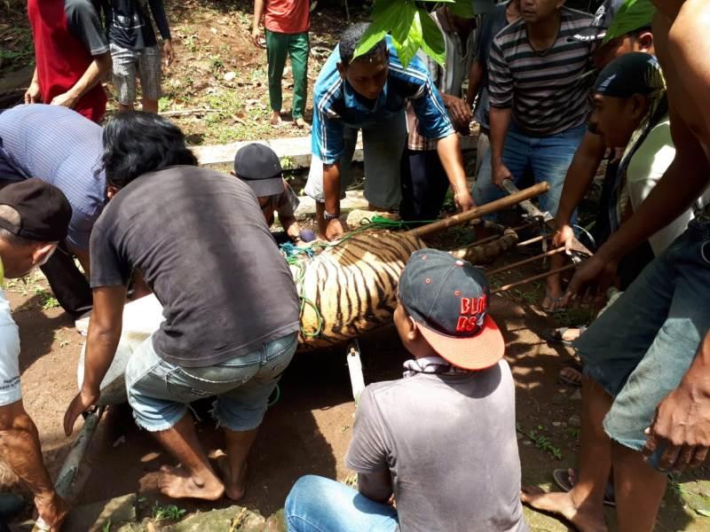 Harimau Benggala betina Kebun Binatang Mangkang, Semarang yang lepas dari kandang berhasil dievakuasi. Foto: BKSDA Jawa Tengah.