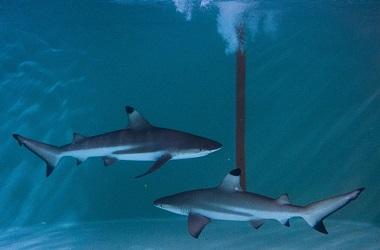 Ilustrasi ikan hiu. (Foto: AFP)