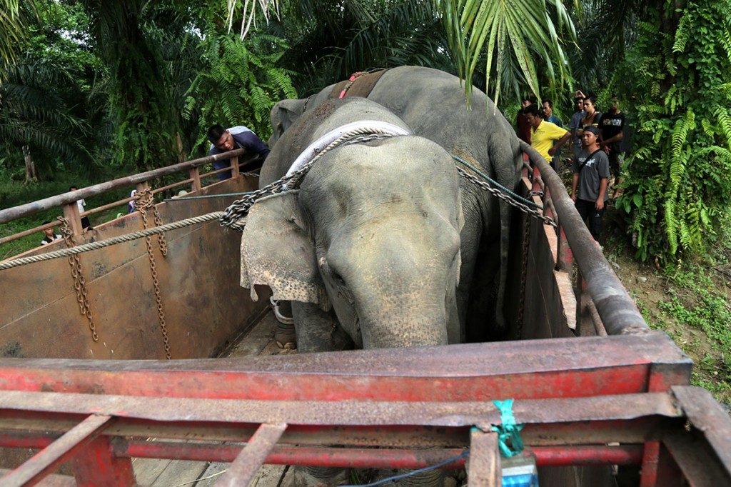 BKSDA Aceh Translokasi Gajah Liar
