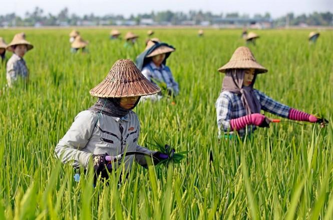 Petani wanita bekerja di wilayah persawahan di Naypyidaw, Myanmar, 1 Mei 2018. (Foto: AFP/THET AUNG)