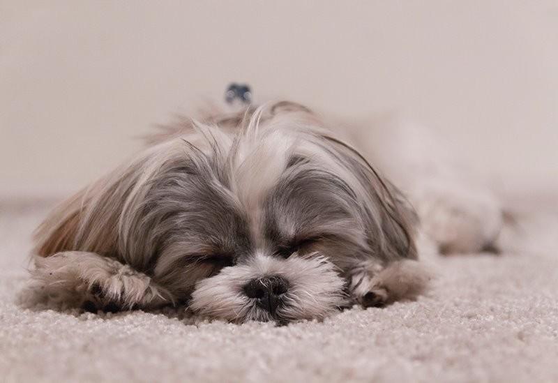 Ilustrasi seekor anjing tertidur (Foto: Adam Grabek/Unsplash)