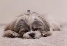 Berbagi Ranjang dengan Anjing Bikin Perempuan Tidur Lebih Nyenyak