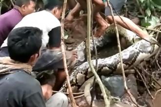 Piton Sepanjang 9 Meter Ditangkap Warga Padang Pariaman